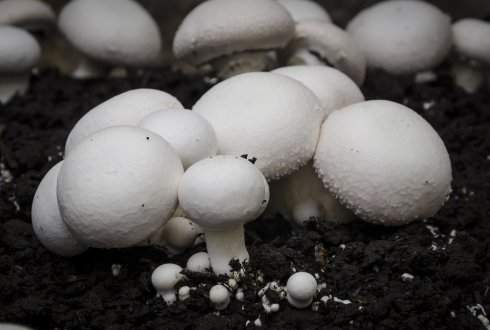 Button Mushroom (Agaricus Bisporus)