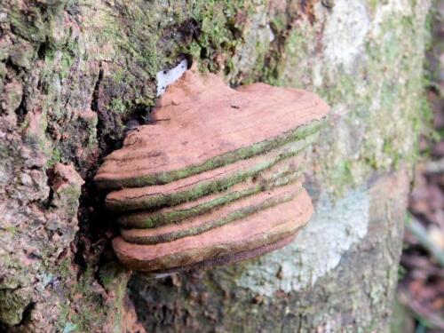 Horse Hoof Fungus - Fomes fomentarius