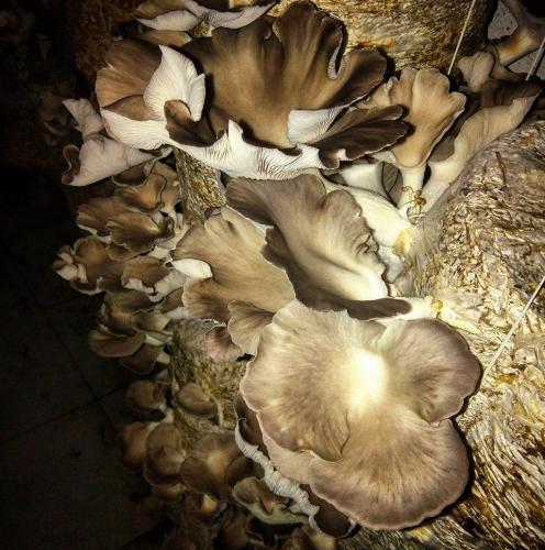 Brown Oyster (Sajor - Caju)