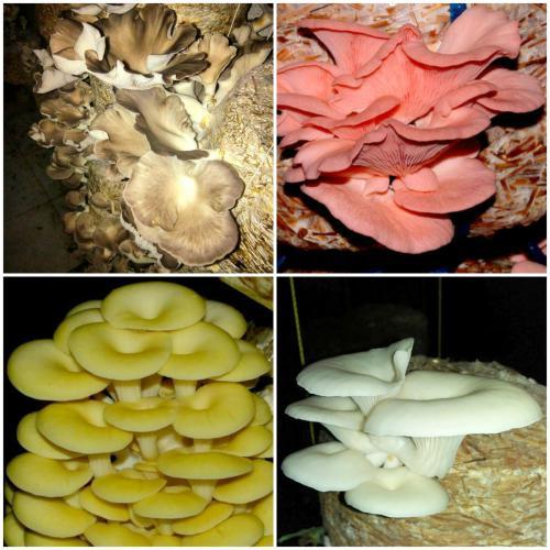 Different Varieties of Oyster Mushroom